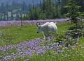 Photo of Mountain Goat and Wildfowers in Glacier National Park
