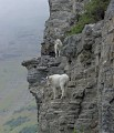 Photo of mountain goats climbing peaks in Glacier National Park