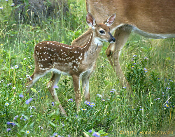 Photo of Whitetail Deer Fawn Fawn