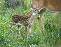 Photo of Whitetail Deer Fawn in Glacier National Park